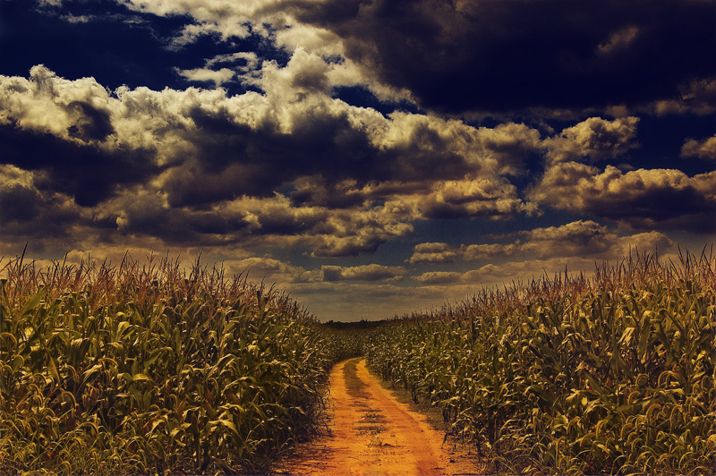 Path Through The Corn